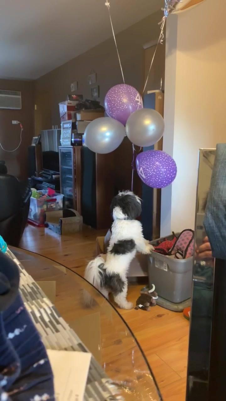 Cachorro Tentando Pegar O Balão, Como Não Amar Os Shih Tzu?