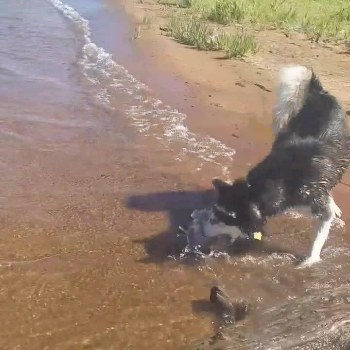 Cachorro Tentando Pegar Umas Ondas Hahaha, Ele É Uma Graça!