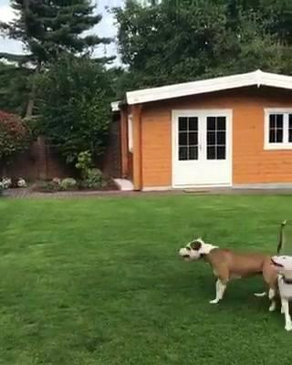 Cães Brincando Com Balão!