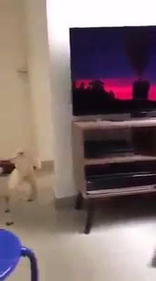 Cão Assistindo Desenho
