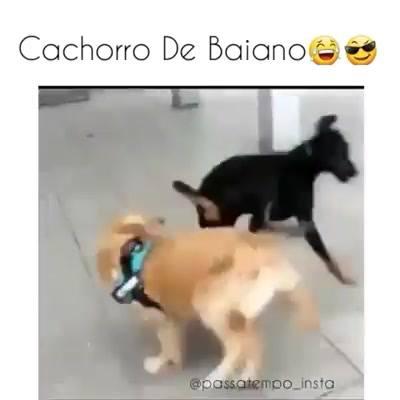 Cão Capoeirista, Confira