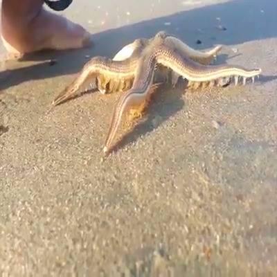 Estrela Do Mar Andando Na Areia, Ela Esta Bem Tranquila, Sem Medo Das Pessoas!