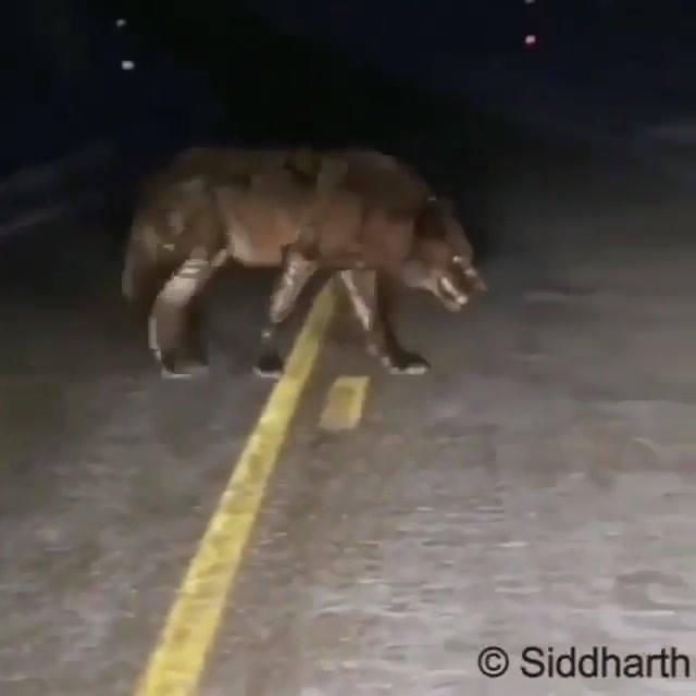 O Que Você Faria Se Deparasse Com Um Animal Desse Na Estrada?