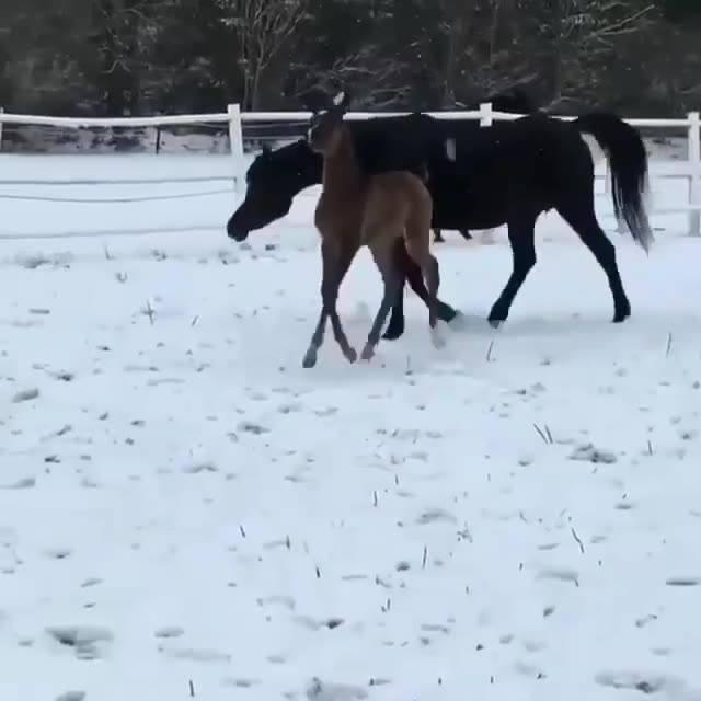 Filhote De Cavalo Andando Com A Mamãe Na Neve, Olha Só Que Lindo!!!