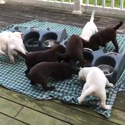 Filhotes De Labrador Na Hora Do Almoço, Olha Só A Fome Desta Galerinha!!!