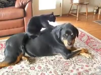 Gato Fazendo Massagem Em Cão