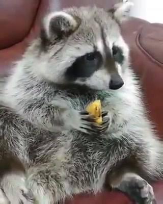 Guaxinim Comendo Frutinha