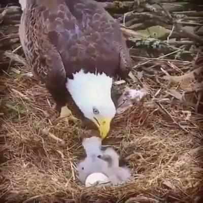 Mamãe Águia Alimentando Seus Filhotes, Que Cena Maravilhosa Da Natureza!