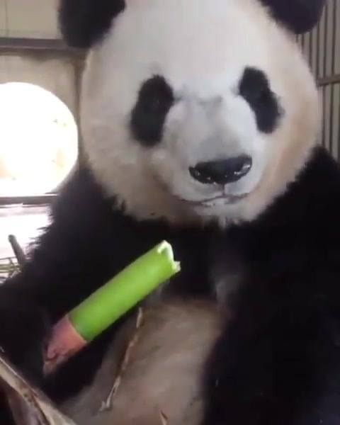 Panda Comendo Bambu!