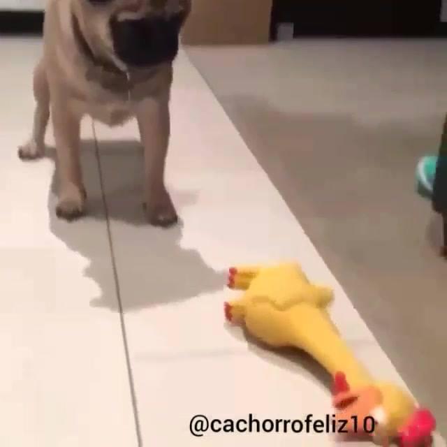 Pug Intrigado Com Galo De Brinquedo, Olha Só Que Engraçado!!!