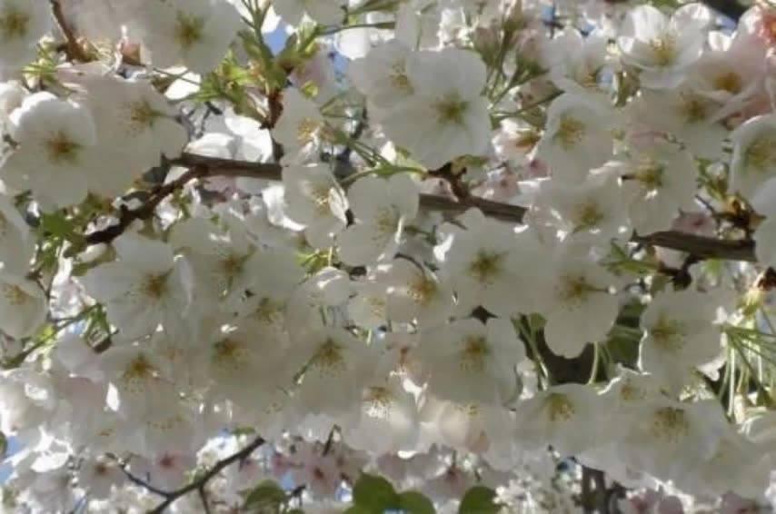 Vídeo Com Lindas Arvores Floríferas, É Uma Mais Linda Que A Outra!!!