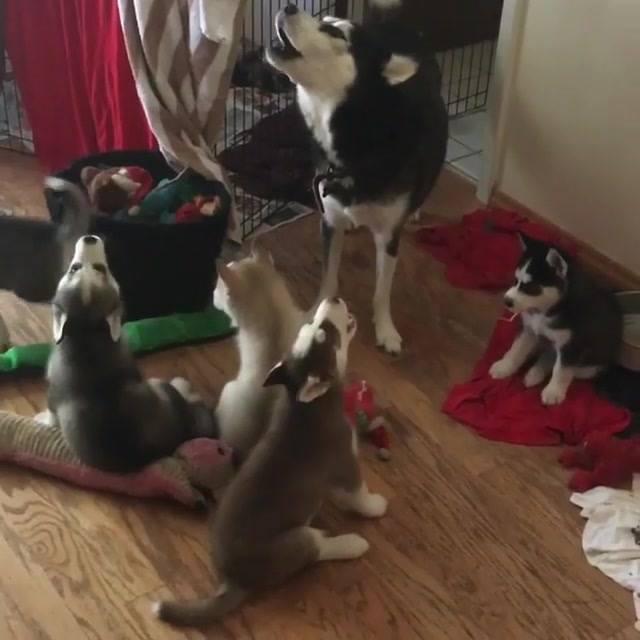 Filhotes De Husky Siberiano Cantando Junto Com A Mamãe, Olha Só Que Fofura!!!