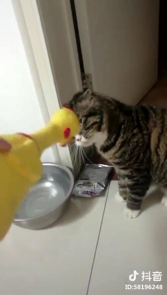 Gato Bravo Com Galo De Brinquedo, Olha Só A Cara Brava Dele, Hahaha!!!
