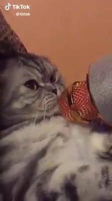 Gato Miando No Microfone