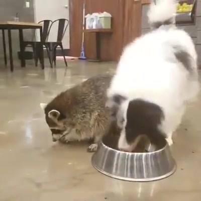 Guaxinim Pega Comida Do Cão