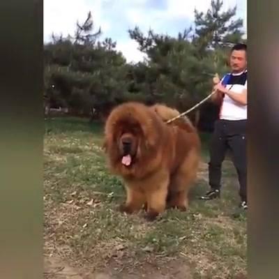 A Raça De Cachorro Mais Cara No Mundo, Confira!