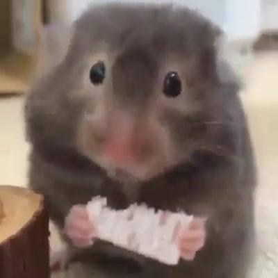 Roedor Comendo Um Biscoito, Ele É Muito Fofinho, Confira!!!