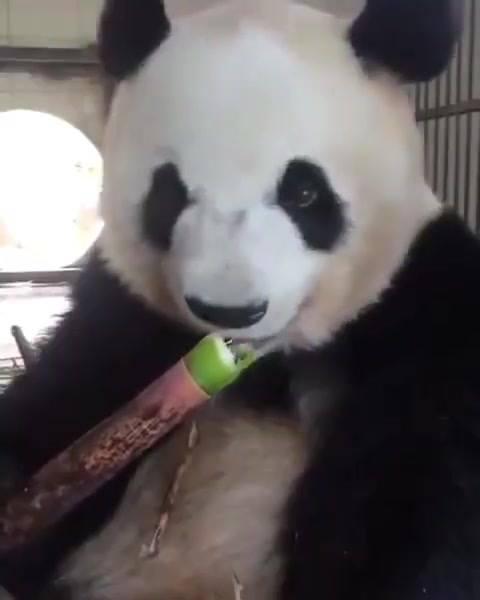 Urso Panda Comendo Bambu, Como Este Animal É Fofinho Até Comendo!!!