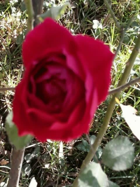 Vídeo Com Fotos De Lindas Rosas, É Uma Mais Linda Que A Outra!!!