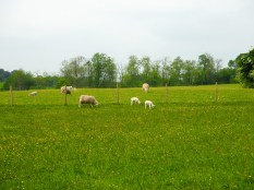 Ships and lambs in Bibury