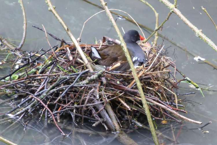 Moorhen nest in the middle of the stream