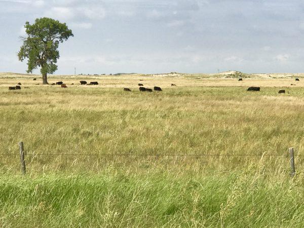 Cattle grazing in the Sandhills near Valentine, Nebraska.