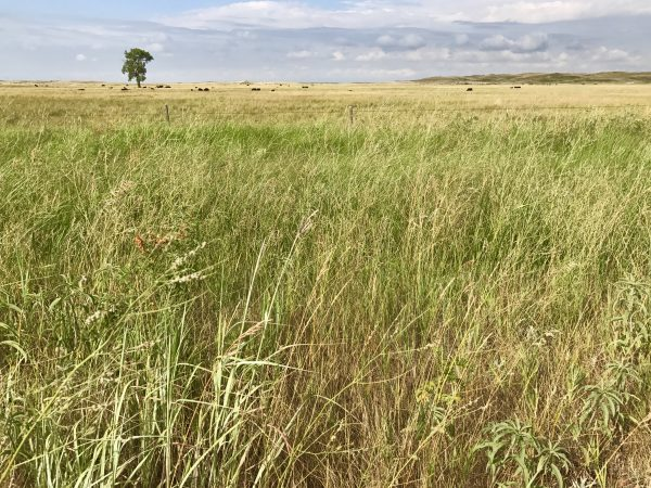 Prairie grass in the Nebraska Sandhills