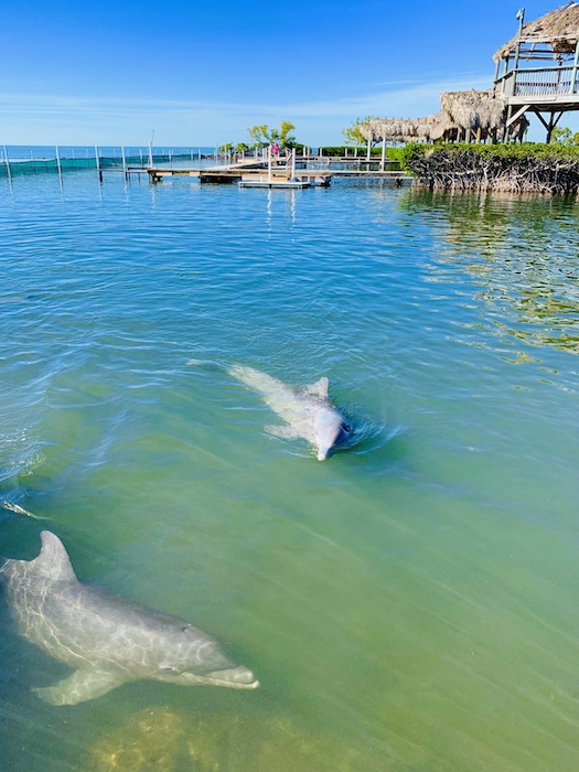 dolphin research center marathon