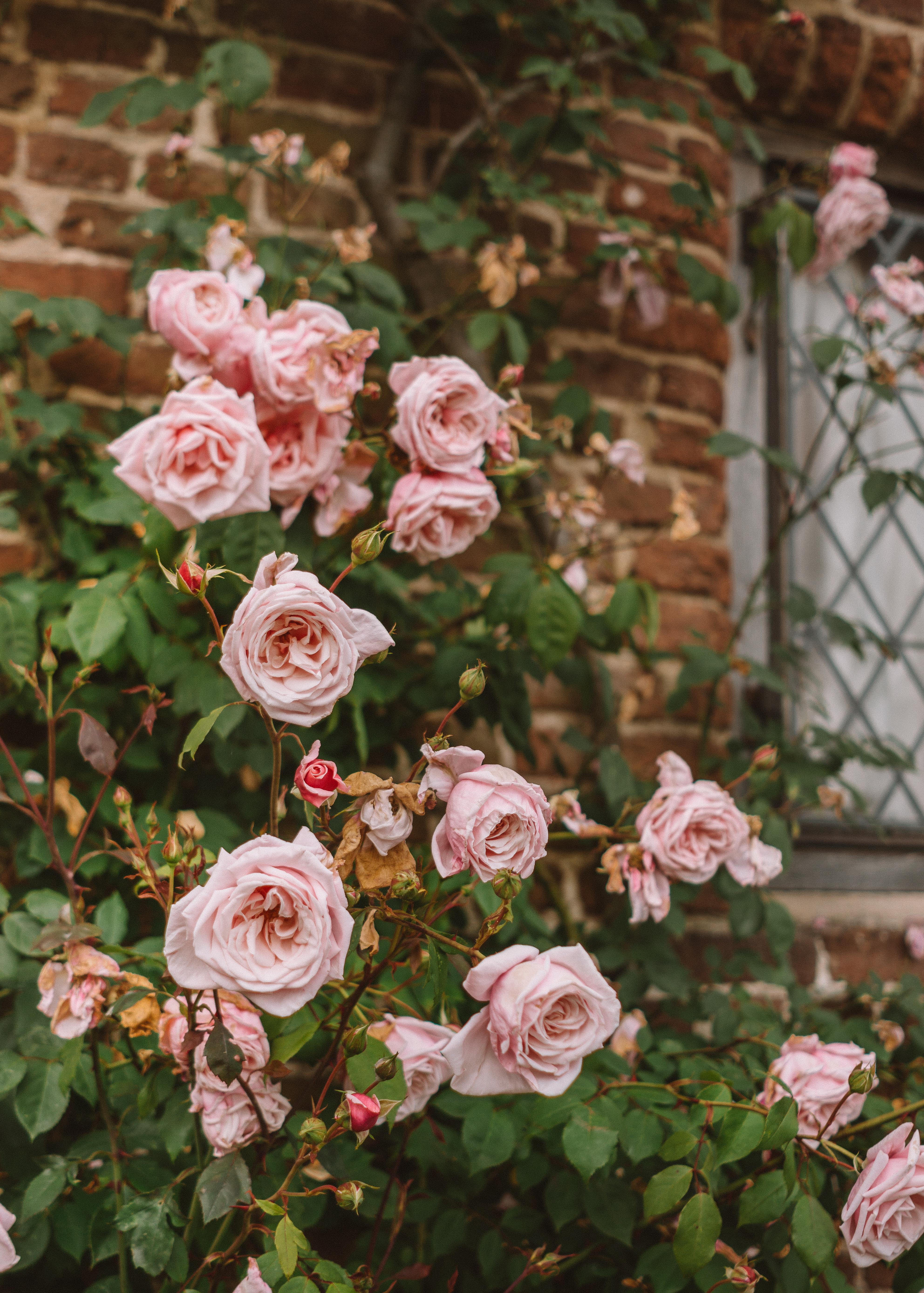 Roses climbing up Sissinghurst Castle