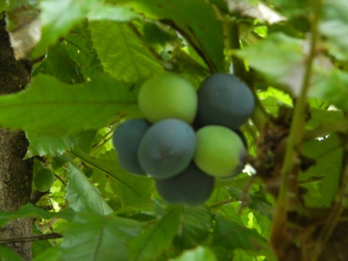 Plums on the tree (sorry a bit fuzzy!)