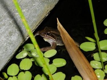 Striped Marsh Frog (800x600)
