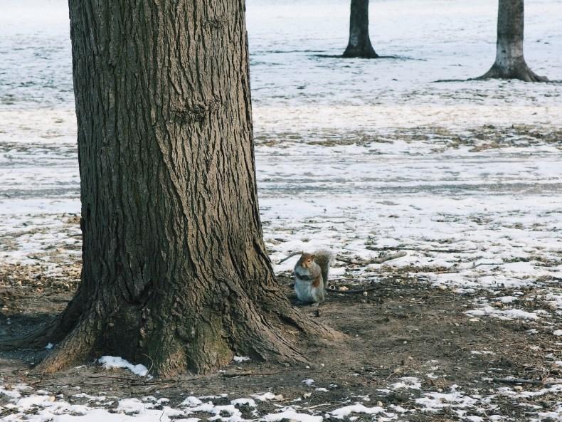 Chicago Lincoln Park Squirrel