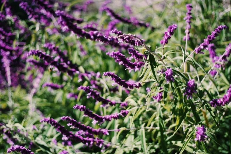 Breenhold Gardens of Mount Wilson Purple Flowers