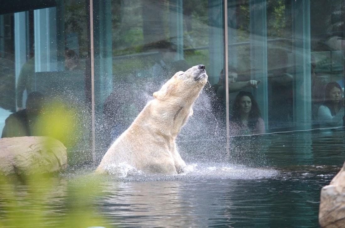 San Diego Zoo, Icebear