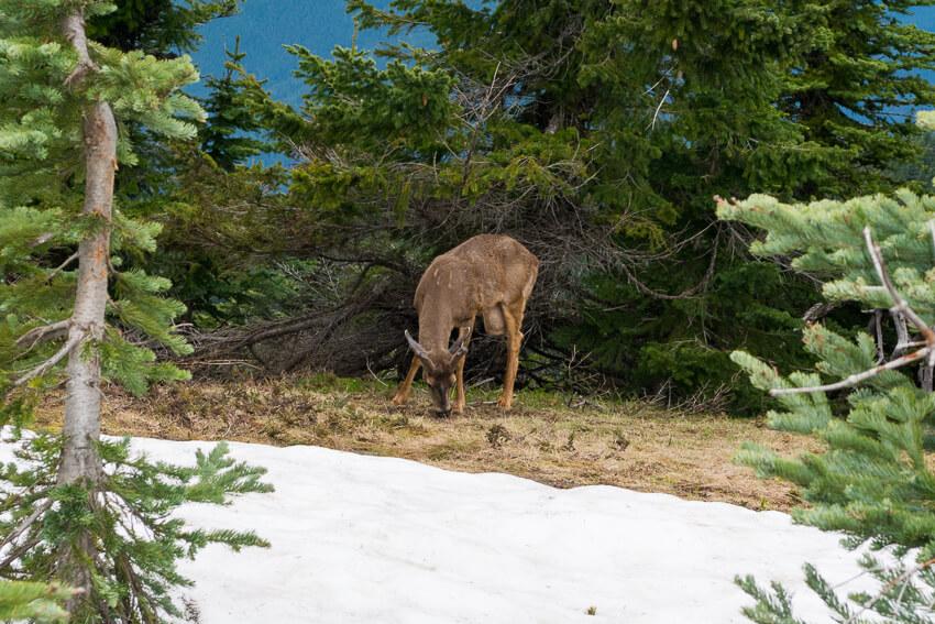 10 Reasons to Visit Olympic National Park deer