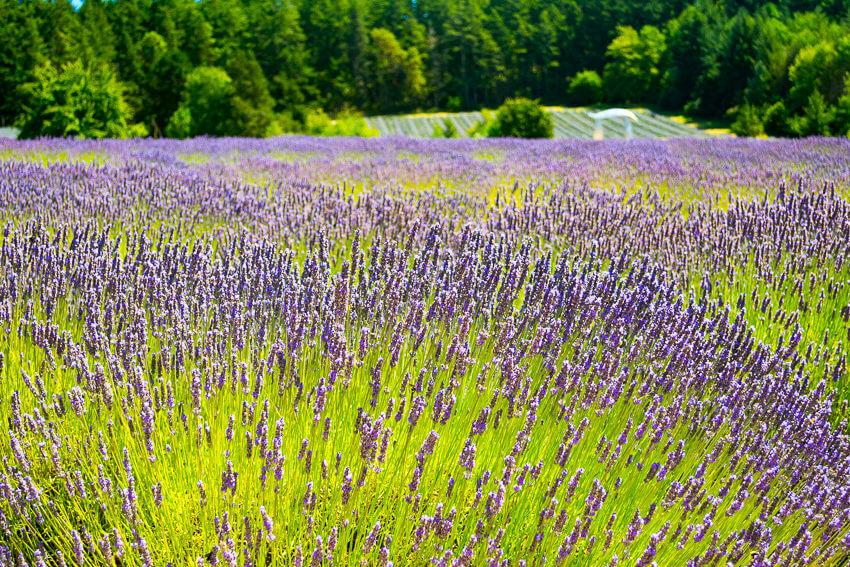 visiting san juan island lavender