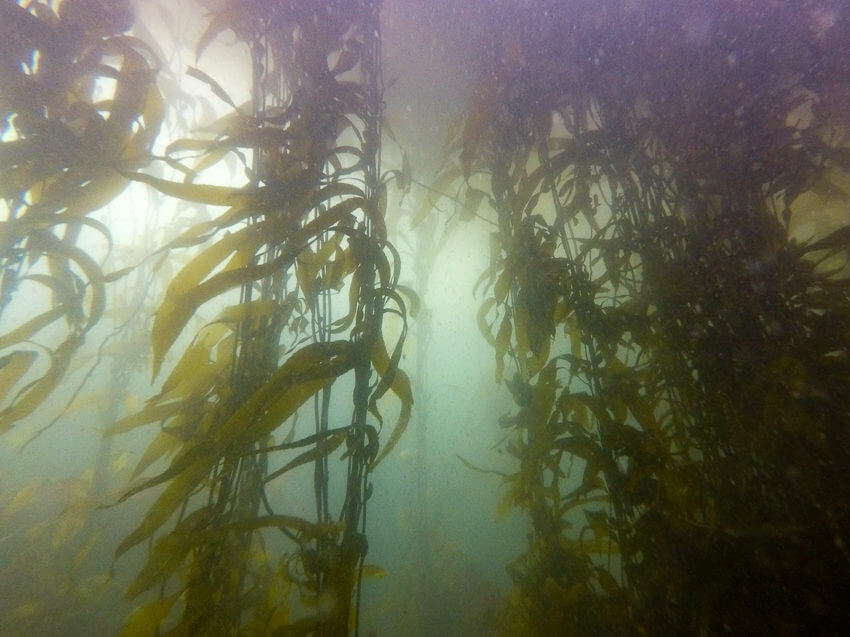 diving in monterey bay kelp forest