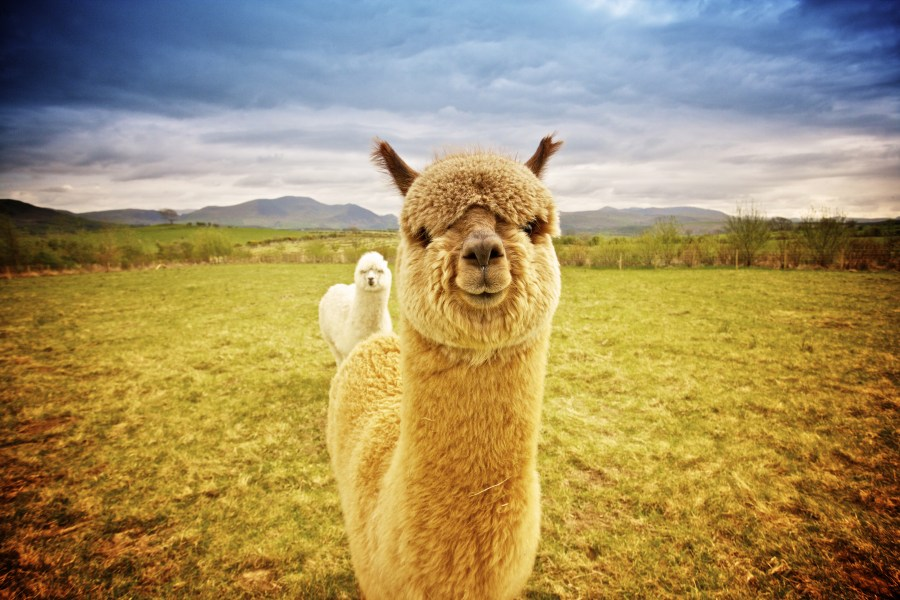 15 Great Landscape Photos  And What Makes Them Great    Alpacas on a grassy field landscape