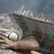 Domestic iguanas evolving plaid camouflage
