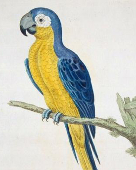 Blue_and_yellow_macaw