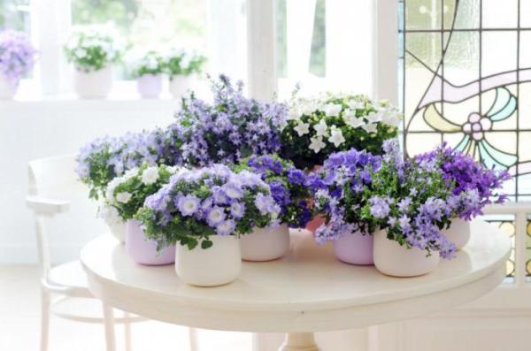Цветок невеста комнатный: уход и размножение в домашних ...