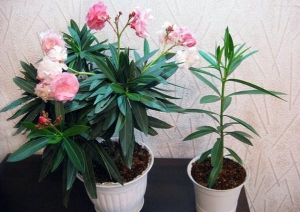 Ядовитые комнатные цветы фото какие цветы ядовитые названия