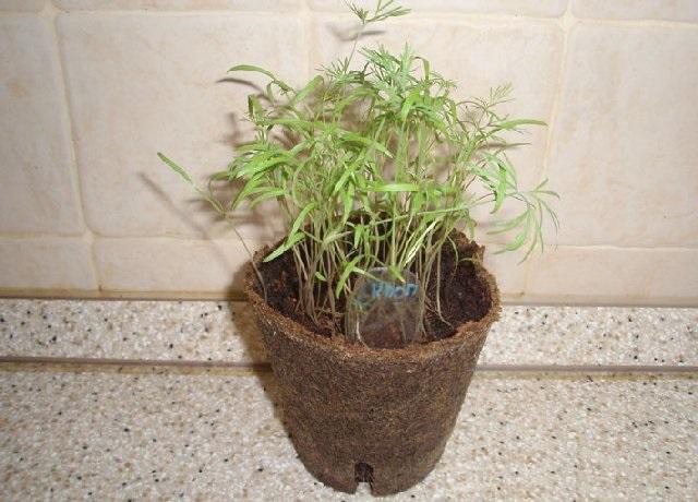 Посадка укропа в домашних условиях. Правильное выращивание укропа на подоконнике из семян
