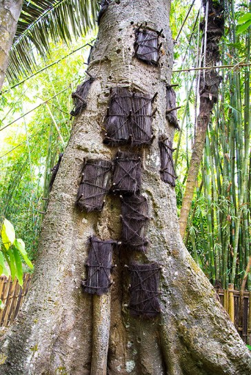 The bodies of dead Torajan infants were once laid to rest in the trunks of living trees
