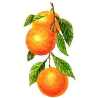 Oranges on a branch with leaves Isolated