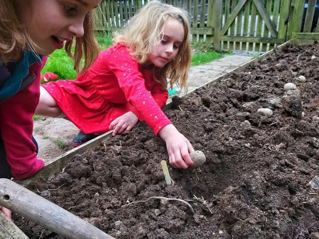 Plant potatoes with kids in Spring