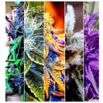 Los colores de la marihuana