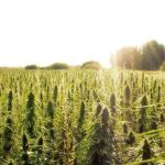 Tailandia legaliza el cultivo del cáñamo