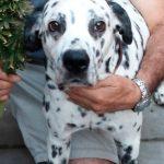 Nicky: el perro que usa aceite de cannabis como tratamiento