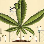 Primer estudio con cannabis en Latinoamérica